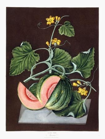 Pumpkin, 1812 by George Brookshaw