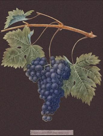 Purple Grapes by George Brookshaw