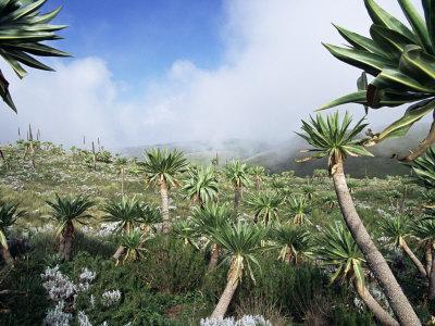 Giant Lobelias in Highlands, Guassa Region, Ethiopia
