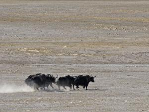 Herd of Wild Yaks Running across the Chang Tang Nature Reserve of Central Tibet., December 2006 by George Chan