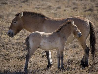 Przewalski's Horses in Kalamaili National Park, Xinjiang Province, North-West China, September 2006
