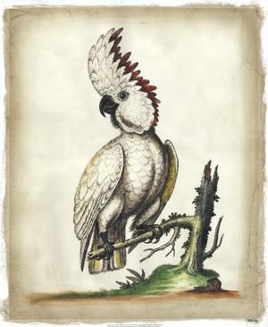 Edwards' Cockatoo by George Edwards