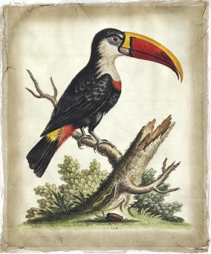 Edwards' Toucan by George Edwards