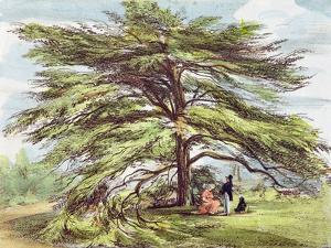 The Lebanon Cedar Tree in the Arboretum, Kew Gardens, Plate 21 by George Ernest Papendiek