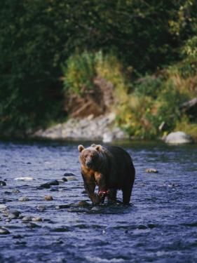 A Kodiak Brown Bear Hunts for Fish by George F. Mobley