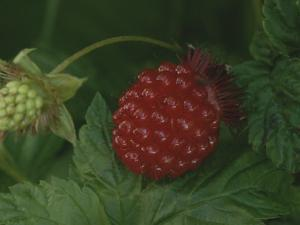 A Ripe Red Salmon Berry Lies on a Leaf Next to a Green Immature Berry by George F. Mobley