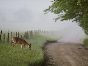 A White-Tailed Deer Feeds by a Dirt Road at Cades Cove by George F. Mobley
