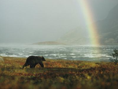 Alaskan Brown Bear and Rainbow near Nonvianuk Lake in Katmai National Park, Alaska