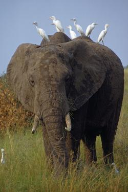 Cattle Egrets Perch Atop an Elephant Foraging in Grassland by George F. Mobley