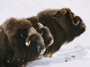 Close View of Three Musk-Oxen Standing in the Snow by George F. Mobley