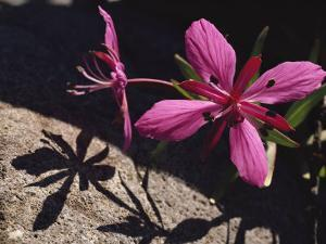 Dwarf Fireweed Flower Blooming in Alaska's Arctic National Wildlife Refuge by George F. Mobley