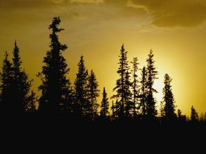 Fir Trees Silhouetted in Early Morning Sunlight at Nabesna by George F. Mobley