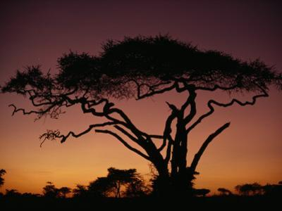 Silhouette of an Acacia Tree in Serengeti National Park