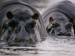 Two Hippopotamuses with Their Faces Half Submerged in the Water by George F. Mobley