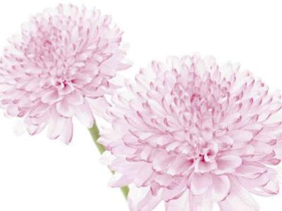 Dalhia in Bloom