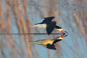 A Black Skimmer, Rynchops Niger, Skimming the Water for Small Fish by George Grall