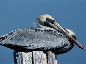 A Brown Pelican Resting on a Post by George Grall