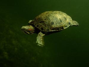 A Coahuilan Red-Eared Turtle Paddles About Laguna Del Hundido by George Grall