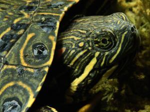 A Coahuilan Red-Eared Turtle Photographed at Laguna Del Hundido by George Grall