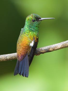 A Copper-Rumped Hummingbird, Amazilia Tobaci, on a Tree Branch by George Grall