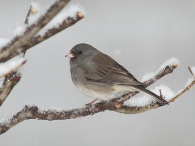 A Dark-Eyed Junco, Junco Hyemalis, Perched on a Snowy Branch
