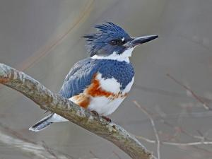 A Female Belted Kingfisher, Megaceryle Alcyon, Perched on a Branch by George Grall