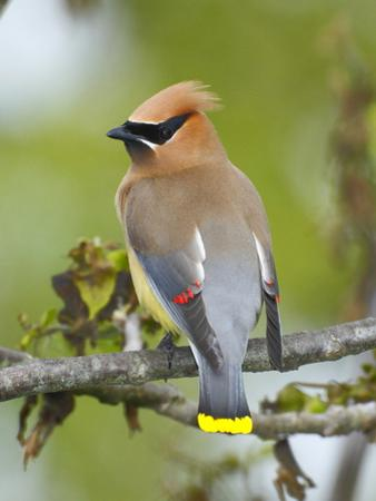 A Male Cedar Waxwing in Breeding Color on a Tree Branch by George Grall