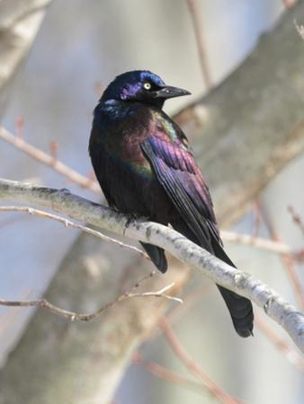 A Male Common Grackle, Quiscalus Quiscula, in a Tree