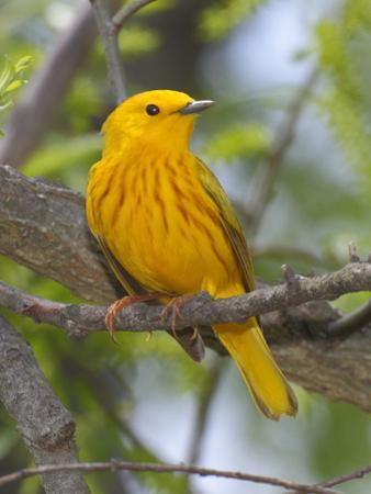 A Male Yellow Warbler, Dendrica Petechia, Perched on a Tree Branch by George Grall