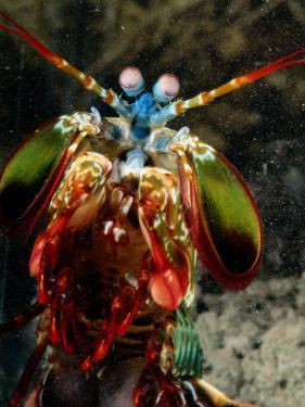 A Mantis Shrimp by George Grall