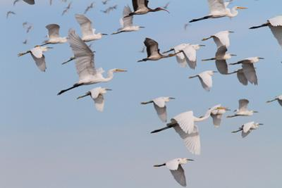 A Mixed Flock of Great and Snowy Egrets, and White Ibises in Flight by George Grall