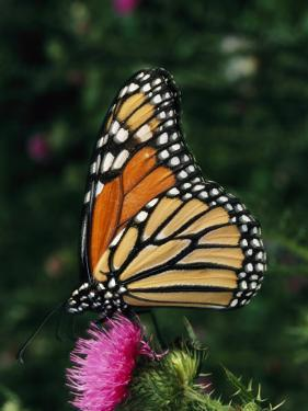 A Monarch Butterfly Sits on a Thistle Flower by George Grall
