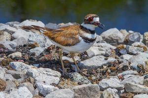 A Nesting Killdeer, Charadrius Vociferus, Guarding its Eggs by George Grall
