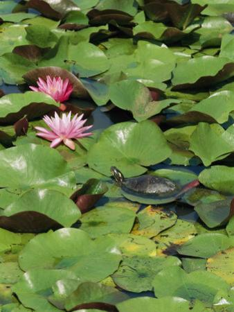 A Painted Turtle Rests on a Water Lily Pad Near Two Pink Flowers