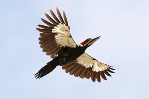 A pileated woodpecker, Dryocopus pileatus, in flight. by George Grall