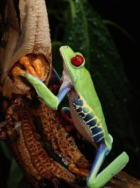 A Red-Eyed Tree Frog by George Grall