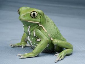 A Small Tree Frog by George Grall