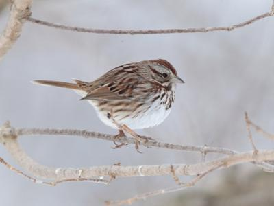 A Song Sparrow, Melospiza Melodia, Perched on a Tree Branch by George Grall