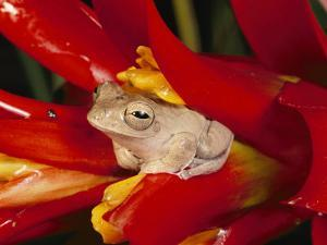 A Tree Frog Shelters in a Bromeliad by George Grall