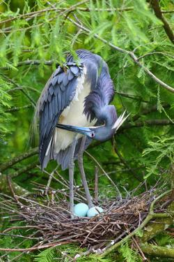 A Tricolored Heron, Egretta Tricolor, in its Nest by George Grall