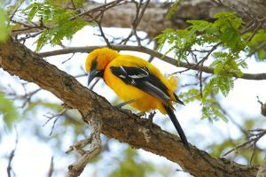 A Yellow Oriole, Icterus Nigrogularis, Perching on the Branch of a Tree by George Grall
