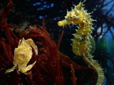 A Young Blue Crab and a Sea Horse