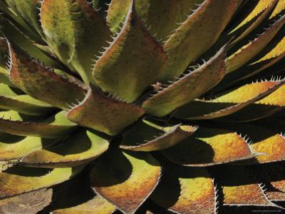 Agave Species High on a Mountain Ridge, Mexico by George Grall
