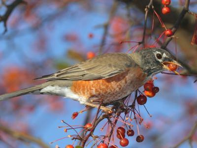 An American Robin, Turdus Migratorius, Eating Crab Apples in a Tree by George Grall
