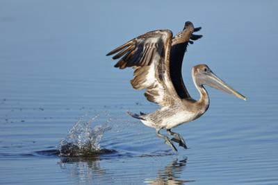 An immature Brown pelican, Pelecanus occidentalis, takes flight from the water surface. by George Grall