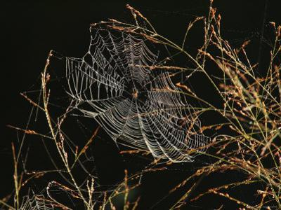 An Orb Weaving Spider Sitting in the Center of Its Web by George Grall