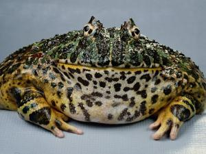An Ornate Horned Frog by George Grall