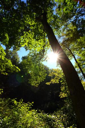 Back-Lit Midsummer Trees with Green Leaves and Blue Sky by George Grall