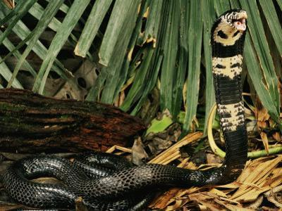 Black Forest Cobra Native to Africa by George Grall