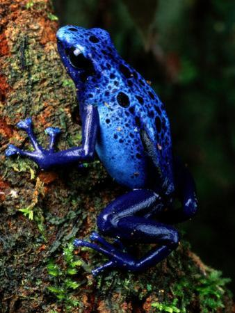 Blue Poison-Dart Frog by George Grall